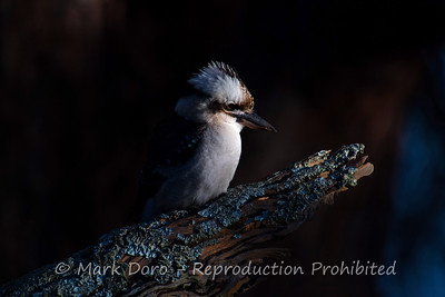 Laughing Kookaburra in the first light of the day, Boat Harbour, New South Wales