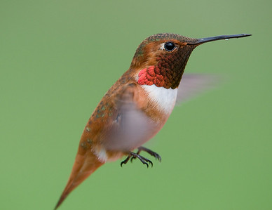 Male Rufous Hummingbird in natural light.