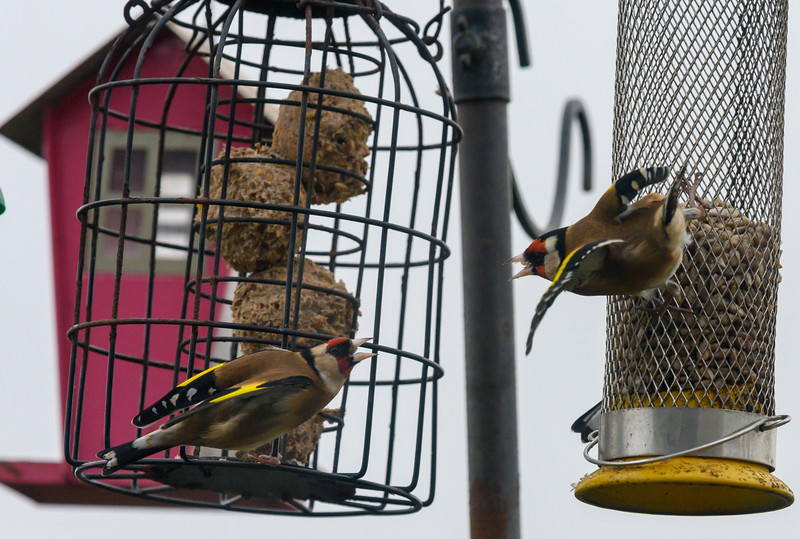 goldfinches falling out