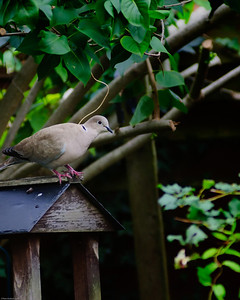 Collar Dove sitting on roof of bird table