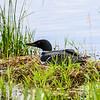 Nesting Loon   2