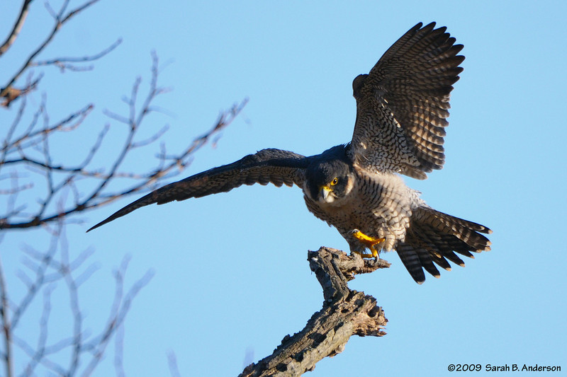 Balancing act<br /> Peregrine Falcon<br /> Montgomery County, Maryland<br /> January 2009
