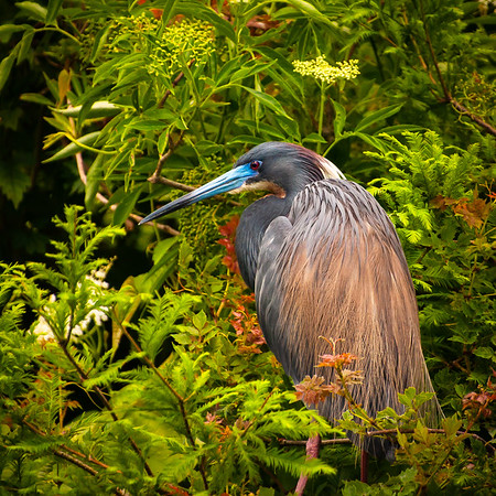Tricolored Heron in Beautiful Breeding Colors