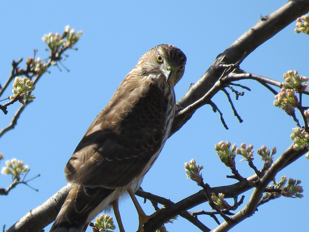 Sharp-shinned Hawk sizing me up for dinner.