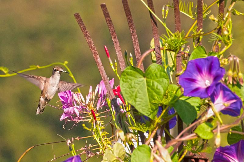 Ruby-throated Hummingbird female, 9/1/10.