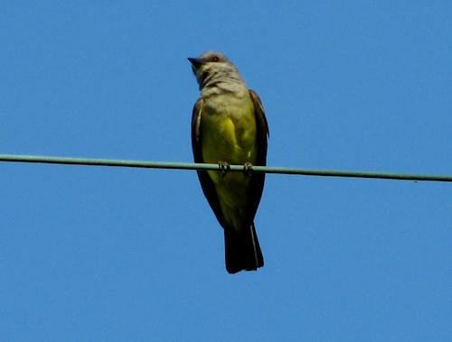 A western kingbird (Tyrannus verticalis) perched on a wire (20080712_09306)