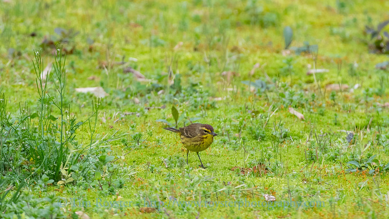 Palm warbler in the moss having a meal