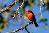 A male Vermilion Flycatcher on Fernandina Island - a very rare sight