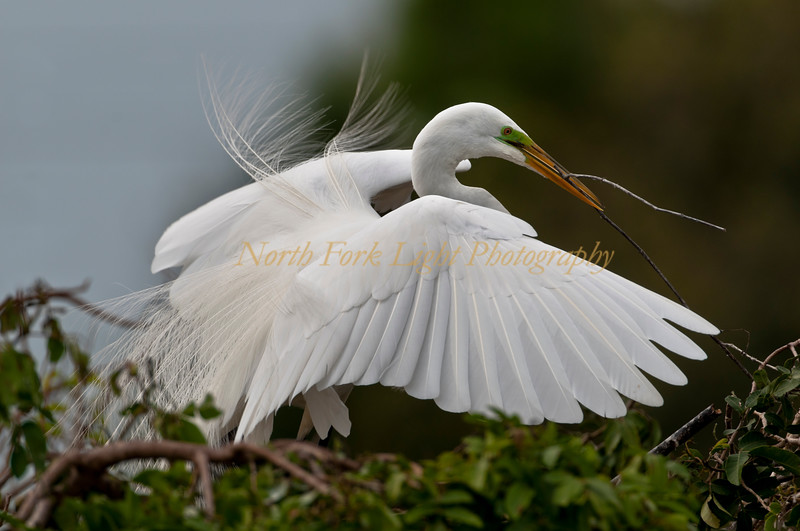 Great White Egret in Breeding Plumage