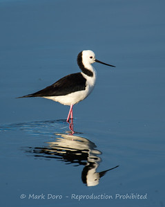 Black winged Stilt, Altona, Victoria