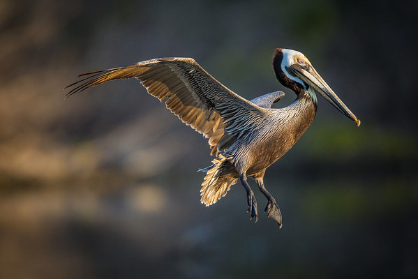 Brown pelican incoming