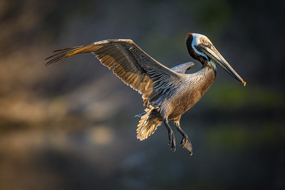 Brown pelican incoming