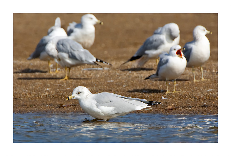 Ring-billed Gull<br /> (Larus delawarensis)