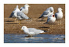 Ring-billed Gull<br /> (Larus delawarensis)