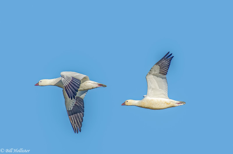 Snow Geese in flight at Sacramento Refuge #7