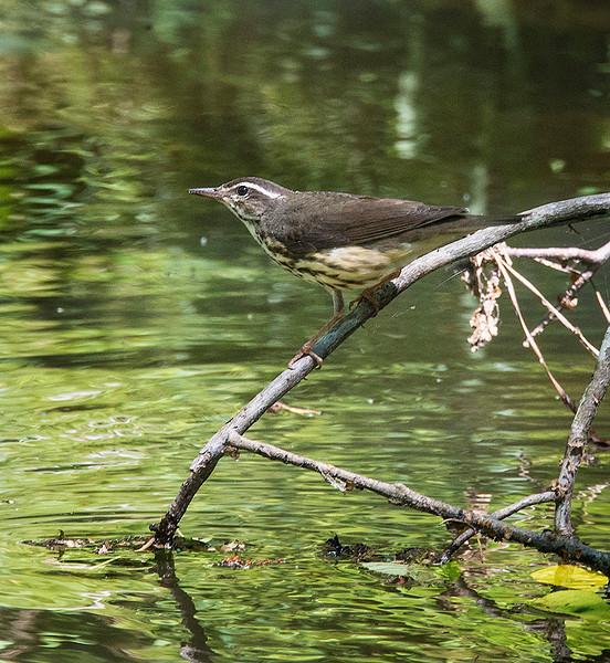 Louisiana Waterthrush 23 May 3013