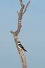 Tree Swallow, Sandy Ridge Reservation, 4/2/2010.