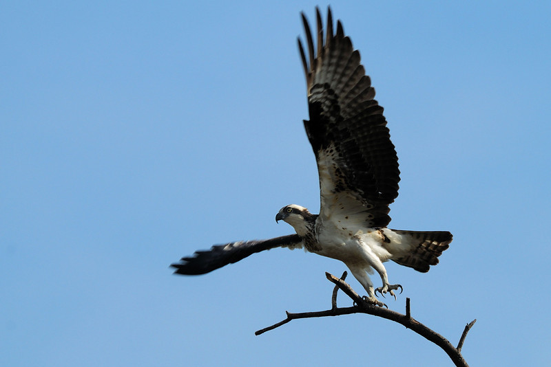 Osprey takeoff<br /> Occoquan NWR, Virginia