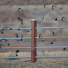 Blackbirds, McKay Reservoir, Oregon