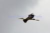 wood stork in flight<br /> Mycteria americana