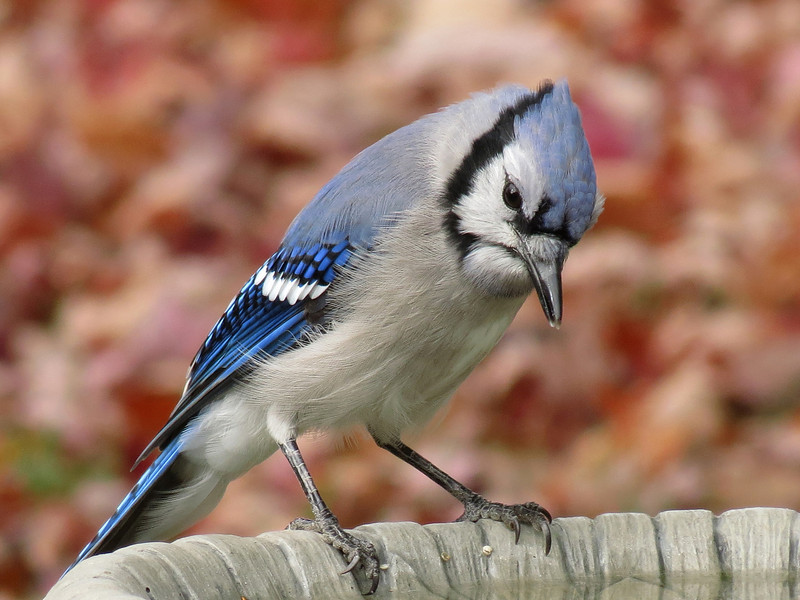 Blue Jay getting a drink of water on October 30th.