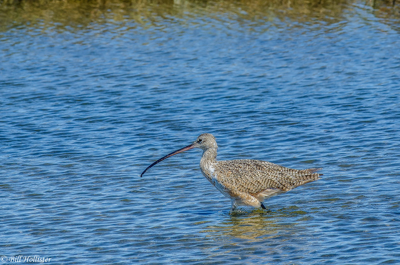 Long-billed Curlew at Moss Landing #10