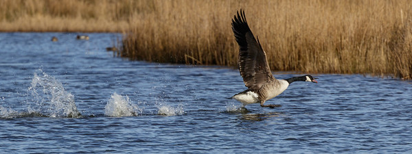 Canadian goose take-off