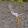 Lesser Yellowlegs at Bolsa Chica Reserve - 4 Sept 2010