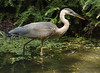 Great Blue Heron, Wheaton, Maryland