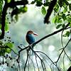 Eurasian Kingfisher (Alcedo atthis)<br /> Bharatpur, India<br /> IUCN Status: Least Concern
