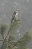 Sharp-Shinned Hawk in the fog - Dec 26, 2010