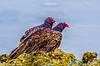 Turkey Vulture at Bodega Bay 6-1-14 #1