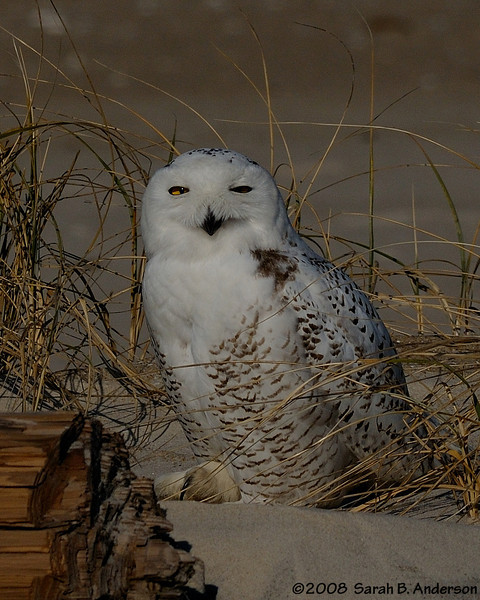 Oh the eyes. And the talon.<br /> Snowy Owl<br /> Assateague Island National Seashore, Maryland<br /> December 2008
