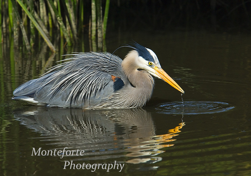 Great Blue Heron-Ardea herodias drinking in Lake La Mirada, Monterey California