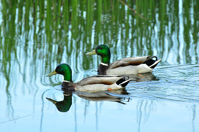Nature, Photography, Bird, Birds, Ducks, Mallards, Drakes, Green, Blue, Water, 155