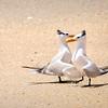 Dancing Terns