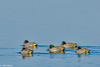 Green-winged teal in Central Valley 1-2012 #05