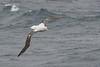 Wandering Albatross, Antarctica