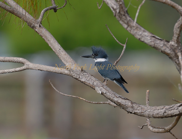 Belted kingfisher in Wakodahatchee, in DelRay, Florida