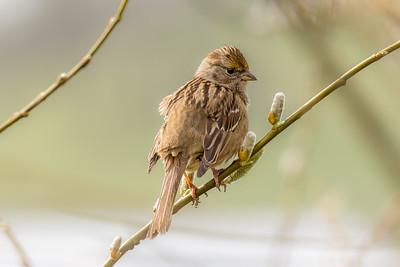 Golden-Crowned Sparrow - Baskett Slough Wildlife Refuge, Oregon 2016