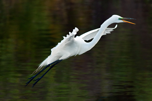 Great Egret Lift-off, Orlando