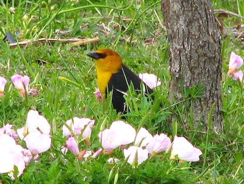 A male yellow-headed blackbird (Xanthocephalus xanthocephalus) standing in the grass next to a tree (20080420_04303)
