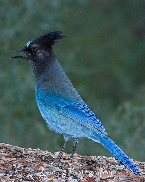 A steller's jay squawking in the Tahoe forrest