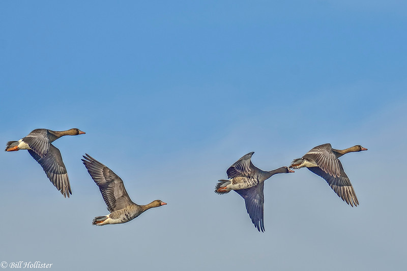 Greater White-fronted Geese flying in Central Valley 1-2012 #09