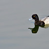 Lesser Scaup on Lady Bird Lake