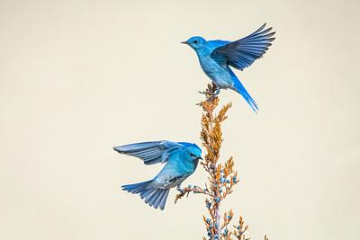 Bluebirds 2067