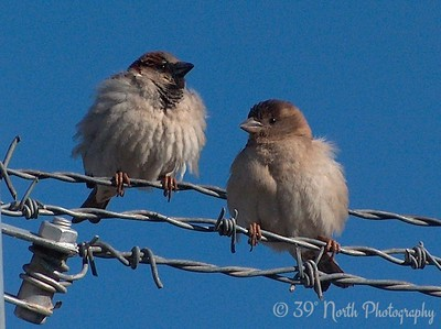 Sparrows Kirkuk, Iraq
