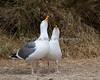 Western Gull - courtship (Larus occidentalis)