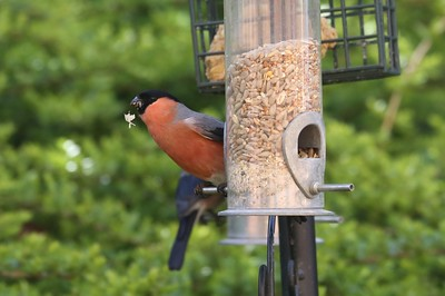Male Bullfinch drops his lunch...
