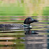 Colorful Loon Reflections